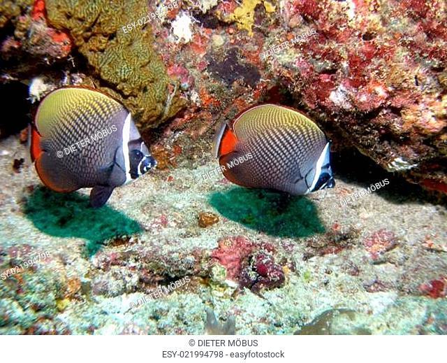 Halsband - Falterfische