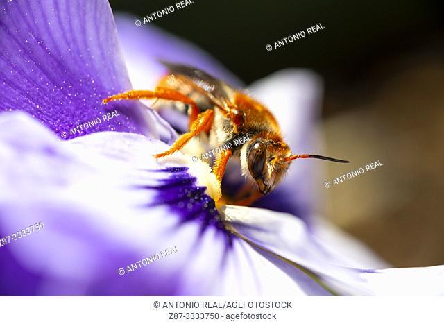 Close-up of bee on flower. Almansa. Albacete province, Castile-La Mancha, Spain