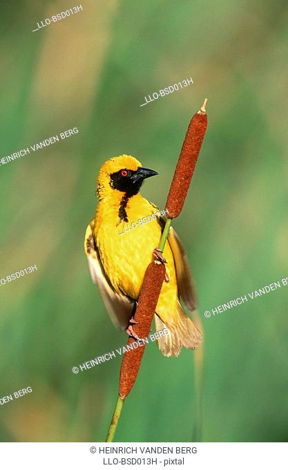 Village Spotted-backed Weaver Ploceus cucullatus Perched on a Reed  Tala Private Reserve, Midlands, KwaZulu Natal Province, South Africa