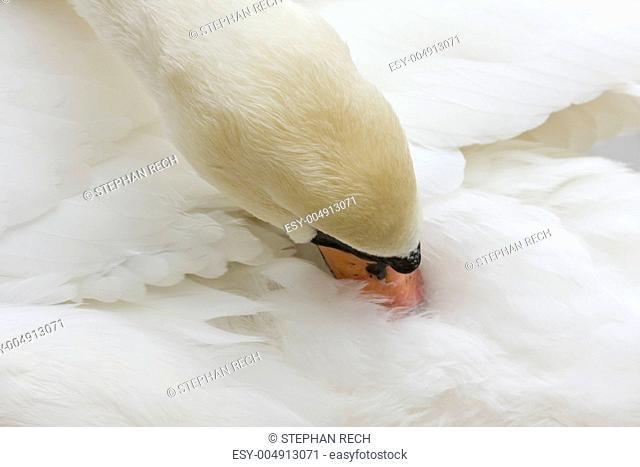 Hoeckerschwan Cygnus olor bei der Gefiederpflege