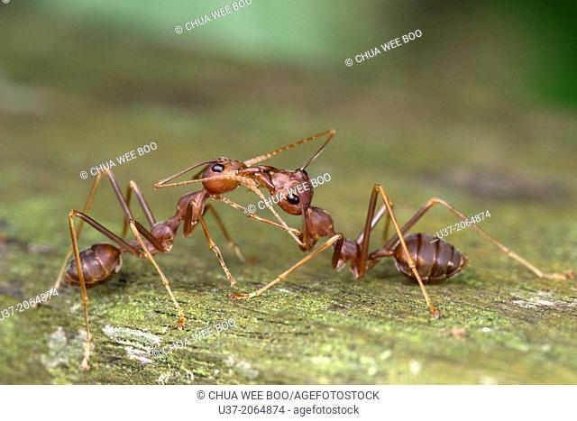 Red ants. Image taken at Kampung Skudup, Sarawak, Malaysia