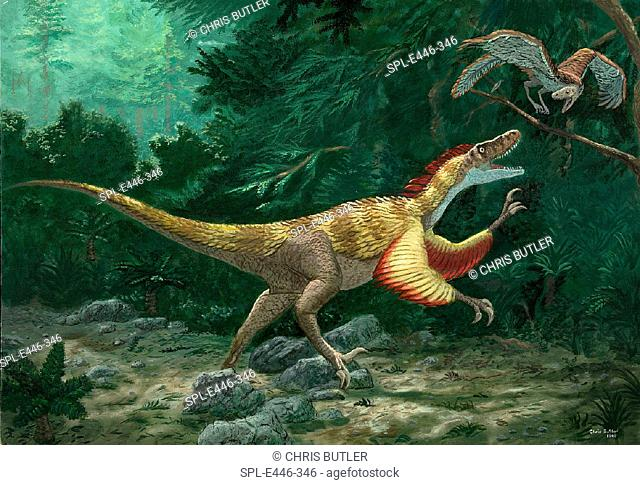 Feathered dinosaurs. Conceptual artwork showing a feathered dinosaur (Velociraptor mongoliensis, centre) attacking an early ancestor of the bird