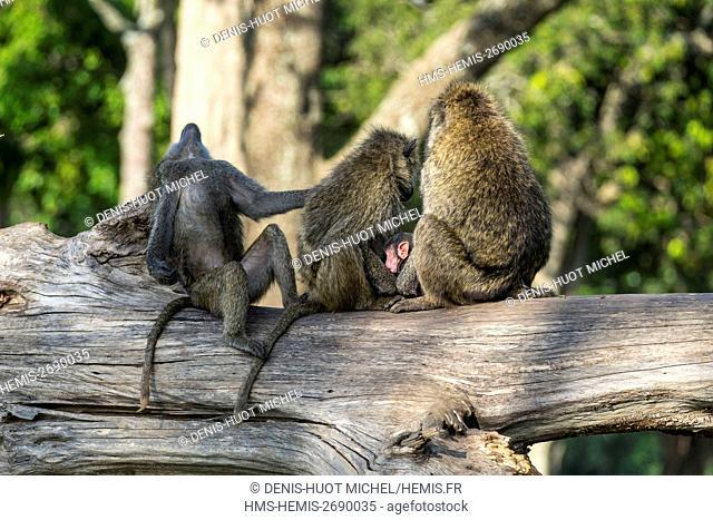 Kenya, Masai-Mara game reserve, Olive baboon (Papio hamadryas anubis), grooming