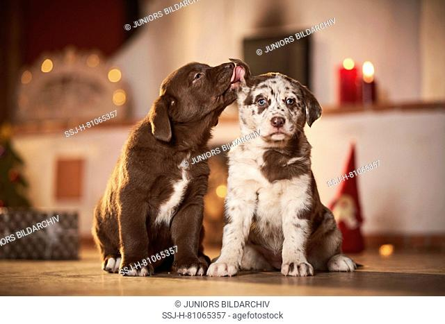 Mixed-breed dog. Two puppies sitting in a room decorated for Christmas, one liking the others ear. Germany