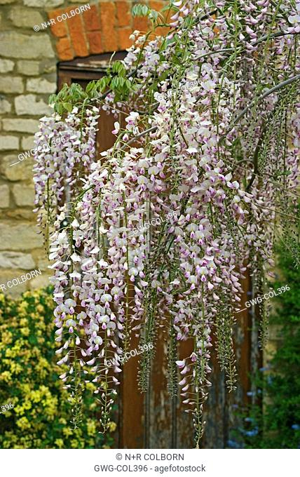 WISTERIA FLORIBUNDA 'ROSEA' SHOWING FLOWERING RACEMES ON A FREE STANDING TREE