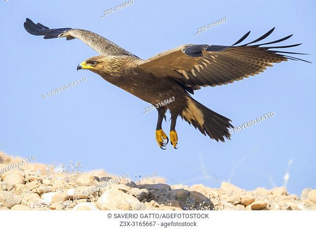 Lesser Spotted Eagle (Aquila pomarina), juvenile in flight