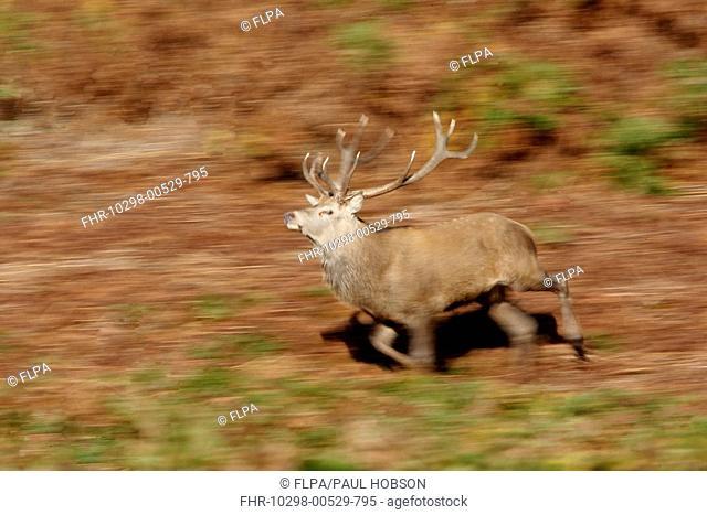 Red Deer Cervus elaphus stag, running, blurred movement, Bradgate Park, Leicestershire, England, autumn
