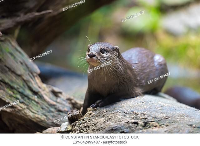 Close-up of an asian small clawed otter with focus on eyes