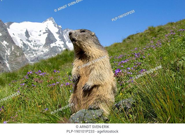 Alpine marmot (Marmota marmota) standing in front of the snow covered mountain Grossglockner, Hohe Tauern National Park, Carinthia, Austria
