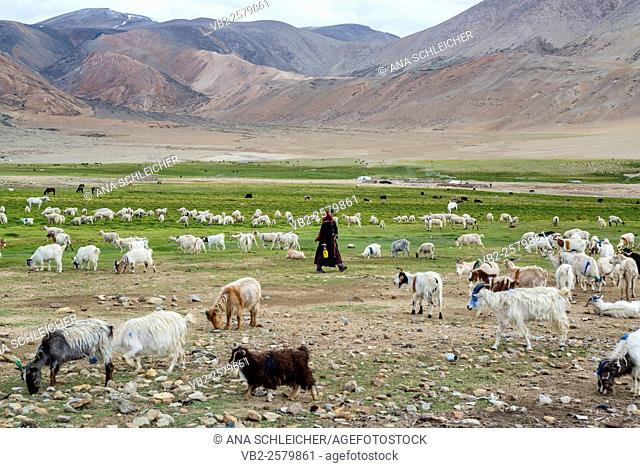 Pashmina goats in a nomads campsite during their summer festival of Tso Moriri lake, Ladakh (India)