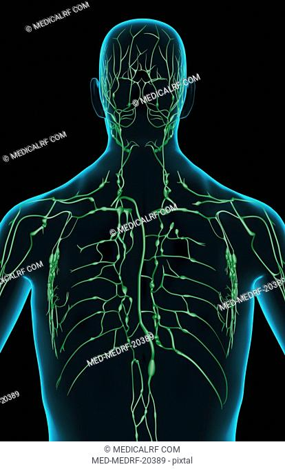 The lymph supply of the upper body