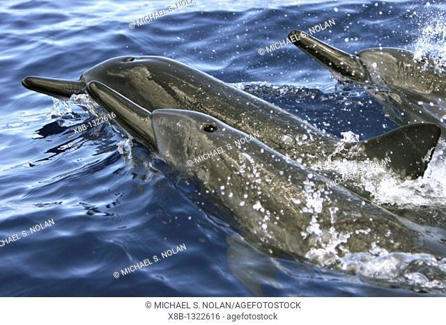 Hawaiian Spinner Dolphin Stenella longirostris pod surfacing in the AuAu Channel off the coast of Maui, Hawaii, USA  Pacific Ocean