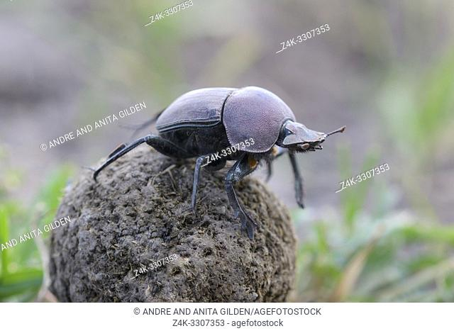 Dung Beetle (Kheper aegyptiorum) on top of dung ball, , Ngorongoro conservation area, Tanzania