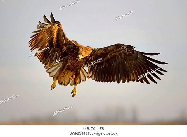 white-tailed sea eagle (Haliaeetus albicilla), young bird in flight, front view, Hungary, Kiskunsag National Park