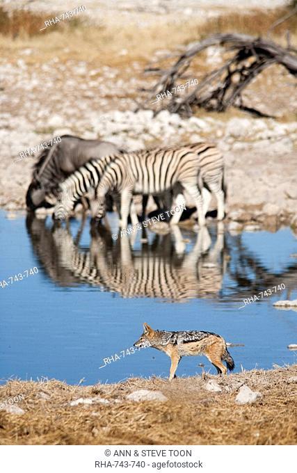 Blackbacked jackal Canis mesomelas, Okaukuejo waterhole, Etosha National Park, Namibia, Africa