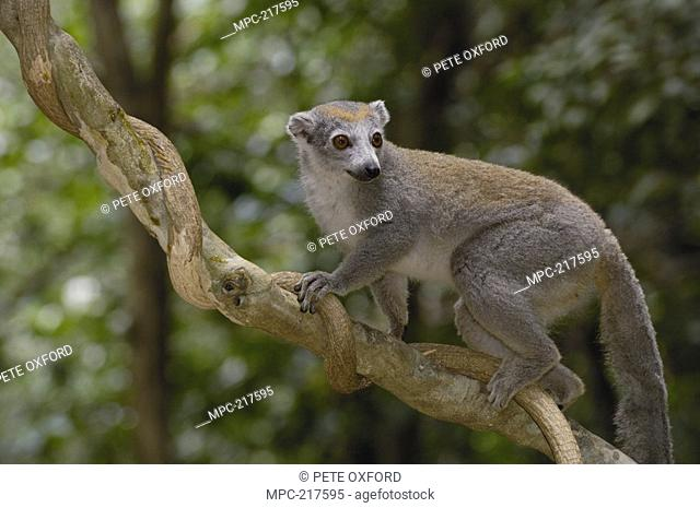 Crowned Lemur Eulemur coronatus, female climbing on liana, vulnerable species, Ankarana Special Reserve, northern Madagascar