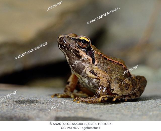Agile frog Rana dalmatina, Greece