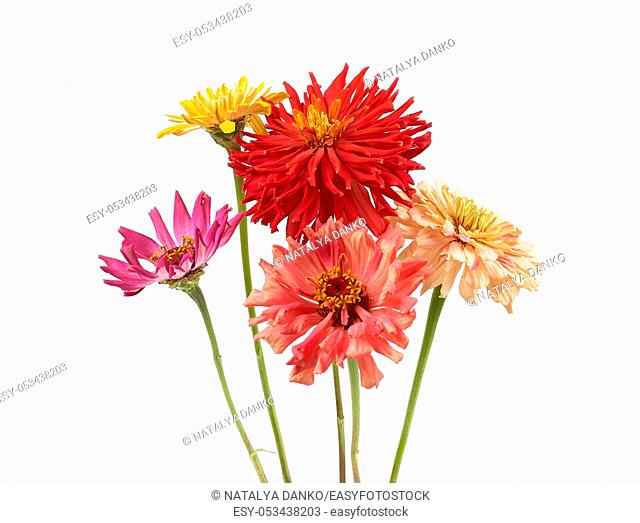 bouquet of yellow, pink, red buds of blooming zinnia isolated on white background, festive backdrop