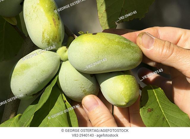Pawpaw fruit, Marion County, Oregon