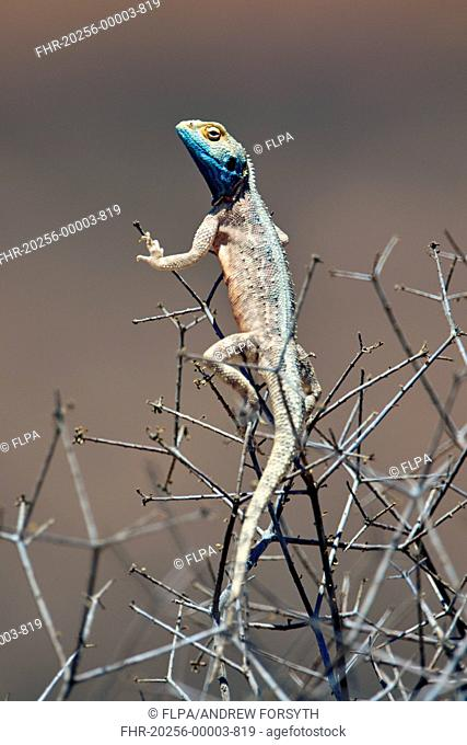 Ground Agama (Agama aculeata) adult, climbing in bush, Kalahari Gemsbok N.P., Kgalagadi Transfrontier Park, Northern Cape, South Africa, December