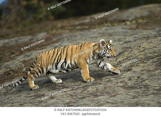 Royal Bengal Tiger ( Panthera tigris ), walking over a huge rock, in natural habitat, full body side view, young animal, on distance