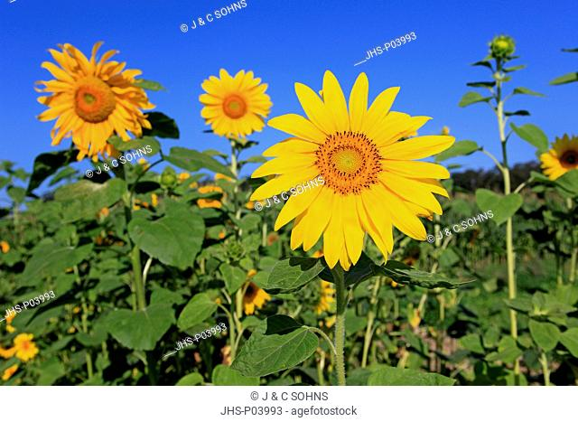 Sunflower, Helianthus annuus, Ellerstadt, Germany, Europe, blooming