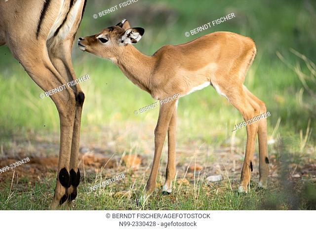Impala (Aepyceros melampus), new-born cub sniffing at its mother, Samburu National Reserve, Kenya
