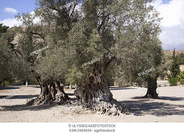 Old olive tree in the archaeological site of Gortyna, Crete island, Greece, Europe