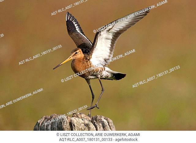 Adult male Black-tailed Godwit in flight, Black-tailed Godwit, Limosa limosa