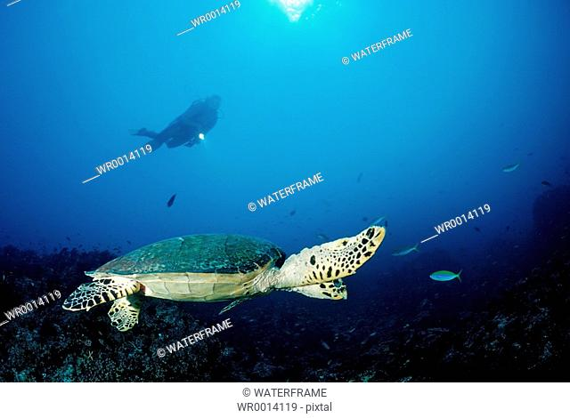 Hawksbill Turtle and Diver, Eretmochelys imbricata, Indian Ocean, Maldives Island