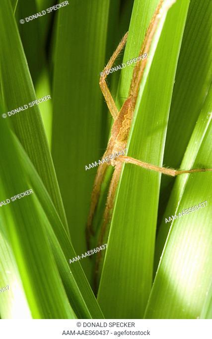 Nursery web spider hunting in grass (Pisaurina mira) Ithaca, NY