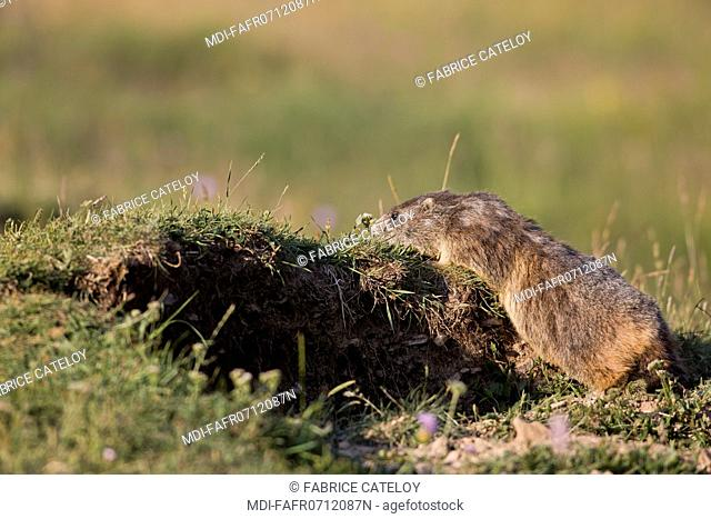 Nature - Fauna - Marmot - Marmot in the natural regional park of Queyras