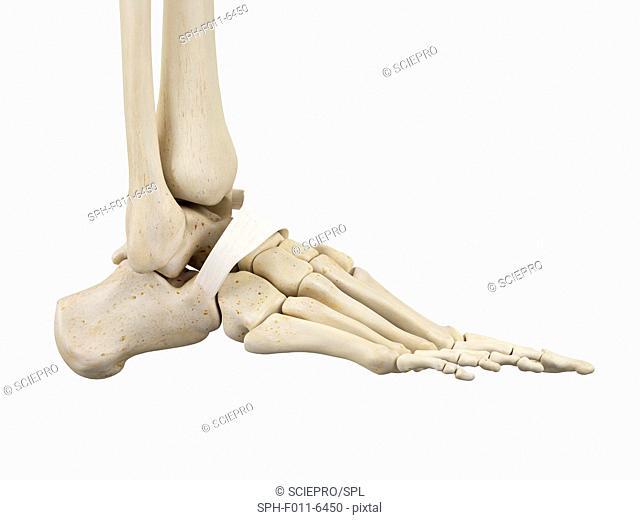 Human foot anatomy, computer illustration