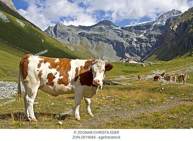 Kühe im Teischnitztal zu Füßen des Großglockners