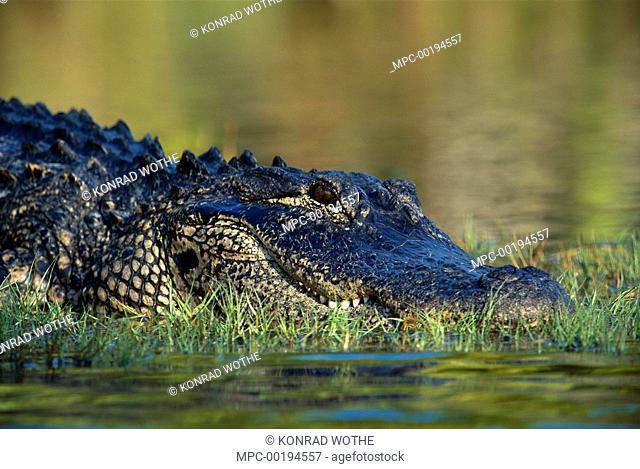 American Alligator (Alligator mississippiensis) resting on bank, southeastern North America