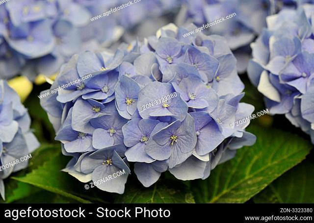 blossom of a blue Hydrangea (Hortensia) in a garden