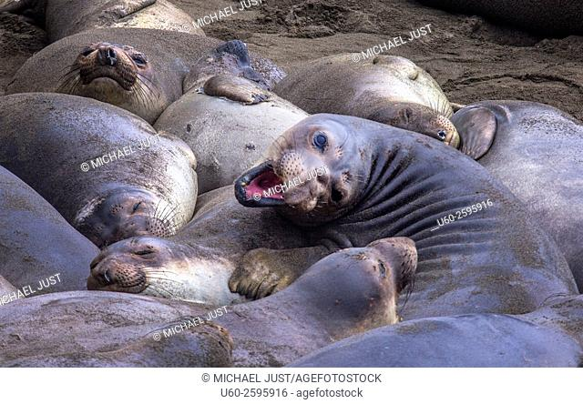 Elephant Seals at play along California's Pacific Ocean Coastline