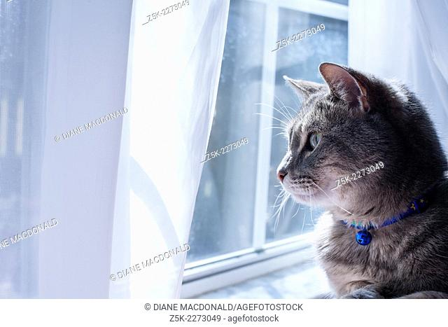 A gray tabby cat with a blue collar and bell looking out a window