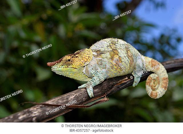 Male cryptic chameleon (Calumma crypticum), Rainforest, Ranomafana National Park, Southern Highlands, Madagascar