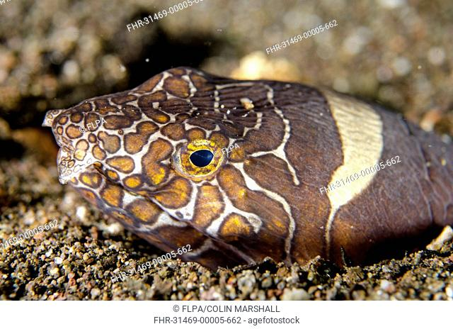 Napoleon Snake-eel (Ophichthus bonaparti) adult, close-up of head, at burrow entrance in sand, Horseshoe Bay, Nusa Kode, Rinca Island, Komodo N.P