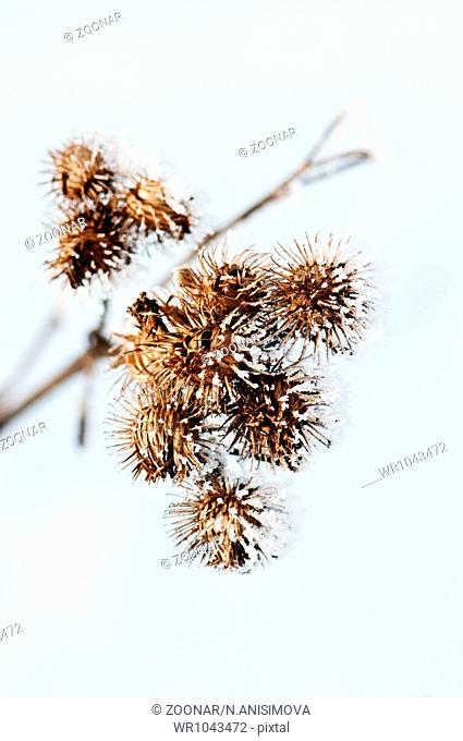 Dried flowers are covered with frost