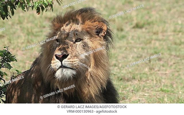 African Lion, panthera leo, Male licking its Nose, Masai Mara Park in Kenya, Real Time