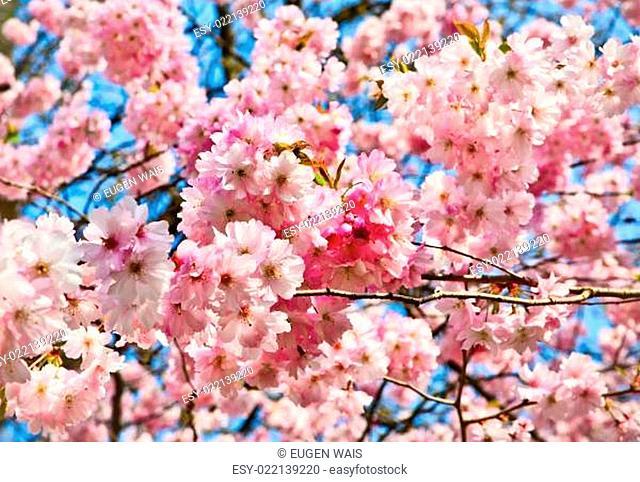 Sakura flowers blooming. Beautiful pink cherry blossom