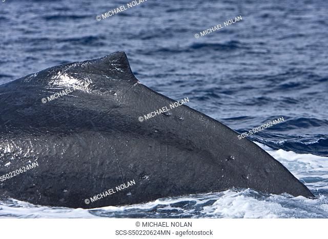 An adult humpback whale Megaptera novaeangliae diving body detail in the AuAu Channel between the islands of Maui and Lanai, Hawaii