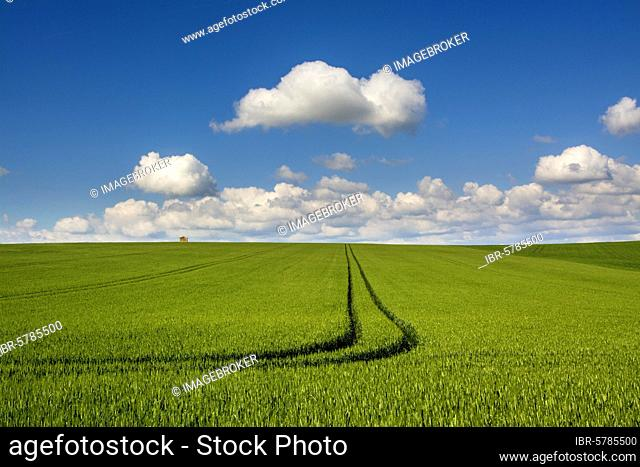 Tracks in a field of wheat, Puy de Dome department, Auvergne Rhone Alpes, France, Europe