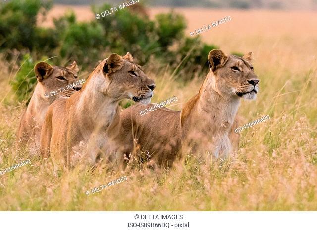 Three lionesses (Panthera leo)watching for a prey, Masai Mara, Kenya, Africa