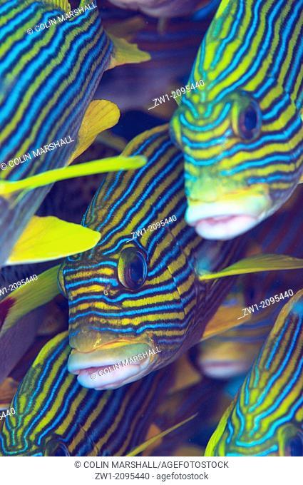 School of Ribbon Sweetlips (Plectorhinchus polytaenia), Otdina Reef, Dampier Straits, Raja Ampat, West Papua, Indonesia