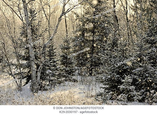 Winter trees dusted with a light snowfall, Greater Sudbury (Lively), Ontario, Canada