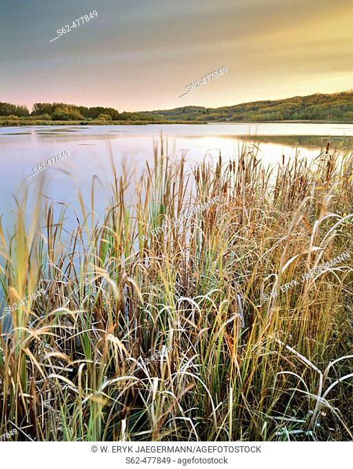 Reeds in Fall Along Lake Shore near Leduc, Alberta, Canada