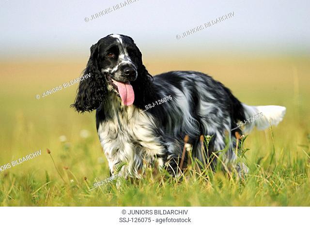 Cocker Spaniel - standing on meadow